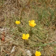 Eschscholzia californica (California Poppy) at Stony Creek - 31 Dec 2015 by MichaelMulvaney