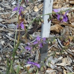 Arthropodium fimbriatum (Chocolate Lily) at Sth Tablelands Ecosystem Park - 16 Dec 2015 by galah681
