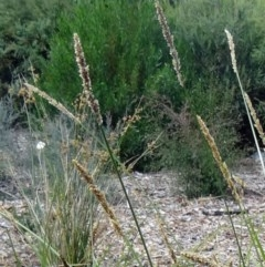 Carex appressa at Sth Tablelands Ecosystem Park - 17 Dec 2015