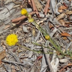 Rutidosis leptorhynchoides (Button wrinklewort) at Sth Tablelands Ecosystem Park - 16 Dec 2015 by galah681