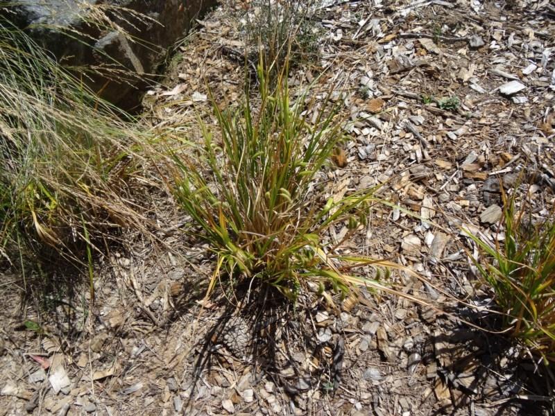 Carex fascicularis at Sth Tablelands Ecosystem Park - 17 Dec 2015