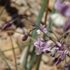 Arthropodium milleflorum (Vanilla Lily) at Sth Tablelands Ecosystem Park - 16 Dec 2015 by galah681