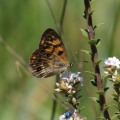 Heteronympha cordace (Bright-eyed Brown) at Paddys River, ACT - 13 Dec 2015 by SuziBond