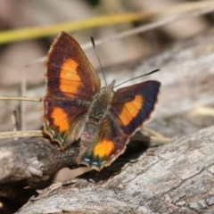 Paralucia aurifer (Bright Copper) at Paddys River, ACT - 1 Nov 2015 by SuziBond