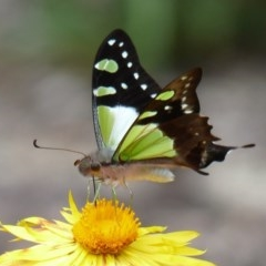 Graphium macleayanum (Macleay's Swallowtail) at ANBG - 16 Feb 2013 by SuziBond