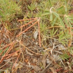 Lotus australis (Austral trefoil) at Red Hill Nature Reserve - 3 Jan 2016 by MichaelMulvaney