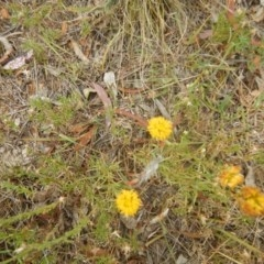 Rutidosis leptorhynchoides (Button wrinklewort) at Red Hill Nature Reserve - 3 Jan 2016 by MichaelMulvaney