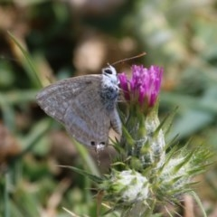 Lampides boeticus (Long-tailed Pea-blue) at Majura, ACT - 13 Oct 2015 by SuziBond