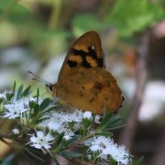 Heteronympha solandri (Solander's Brown) at Uriarra, ACT - 29 Dec 2015 by SuziBond