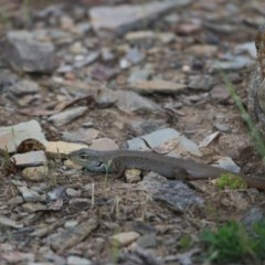 Liopholis whitii (White's Skink) at Mount Clear, ACT - 9 Nov 2015 by SuziBond