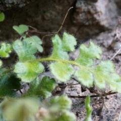 Pleurosorus rutifolius (Blanket Fern) at Rob Roy Range - 30 Aug 2014 by AaronClausen