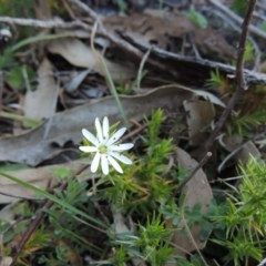 Stellaria pungens (Prickly Starwort) at Tennent, ACT - 31 Aug 2014 by michaelb