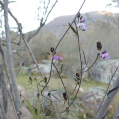 Glycine clandestina (Twining glycine) at Tennent, ACT - 31 Aug 2014 by michaelb