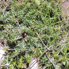 Acrotriche serrulata (Ground-berry) at Kambah, ACT - 28 Aug 2014 by michaelb