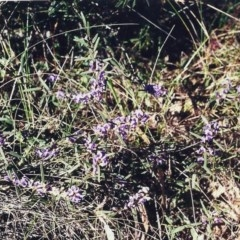 Hovea heterophylla (Common Hovea) at Conder, ACT - 11 Aug 2000 by michaelb