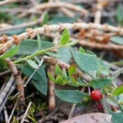 Einadia nutans subsp. nutans (Climbing Saltbush) at Hackett, ACT - 4 Sep 2014 by AaronClausen