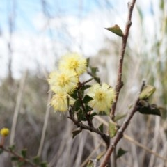Acacia gunnii (Ploughshare Wattle) at Mount Majura - 5 Sep 2014 by AaronClausen
