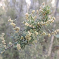 Pomaderris angustifolia (Pomaderris) at Tennent, ACT - 3 Sep 2014 by michaelb