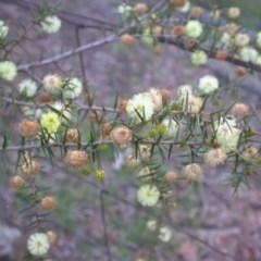 Acacia ulicifolia (Prickly Moses) at Hackett, ACT - 6 Sep 2014 by waltraud