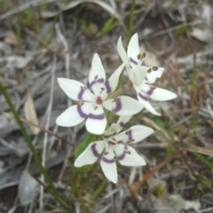 Wurmbea dioica subsp. dioica (Early Nancy) at Mount Painter - 9 Sep 2014 by JoshMulvaney