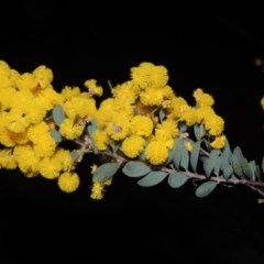 Acacia buxifolia subsp. buxifolia (Box-leaf Wattle) at Theodore, ACT - 8 Sep 2014 by michaelb