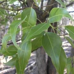 Brachychiton populneus subsp. populneus (Kurrajong) at Majura, ACT - 8 Jan 2016 by SilkeSma