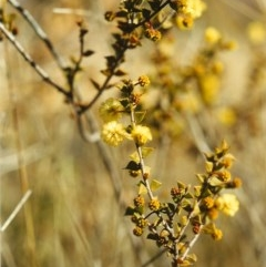Acacia gunnii (Ploughshare Wattle) at Conder, ACT - 4 Aug 1999 by michaelb