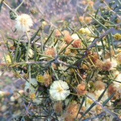 Acacia ulicifolia (Prickly Moses) at Tuggeranong Hill - 13 Sep 2014 by michaelb