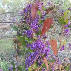 Hardenbergia violacea (False Sarsaparilla) at Tuggeranong Hill - 13 Sep 2014 by michaelb
