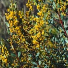 Acacia buxifolia subsp. buxifolia (Box-leaf Wattle) at Tuggeranong Hill - 25 Sep 2001 by michaelb