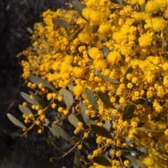 Acacia buxifolia subsp. buxifolia (Box-leaf Wattle) at Farrer Ridge - 16 Sep 2014 by galah681
