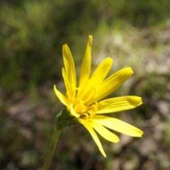 Microseris walteri (Murnong, Yam Daisy) at Gungaderra Grasslands - 21 Sep 2014 by AaronClausen