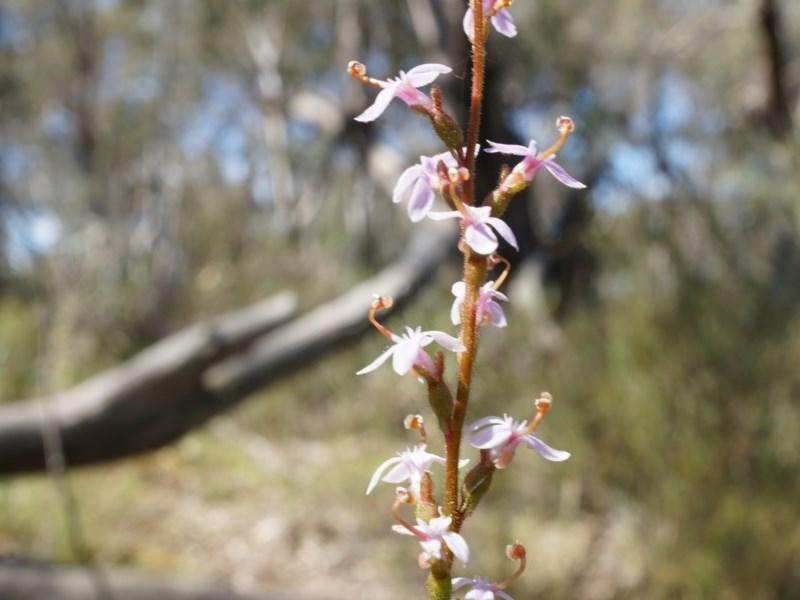 Stylidium graminifolium at Gungaderra Grasslands - 21 Sep 2014