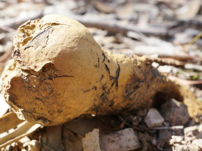 Pisolithus microcarpus at Gungaderra Grasslands - 21 Sep 2014