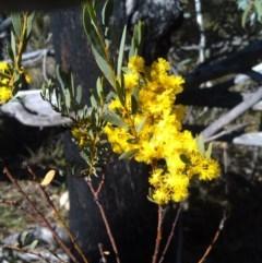 Acacia buxifolia subsp. buxifolia (Box-leaf Wattle) at Paddys River, ACT - 20 Sep 2014 by galah681