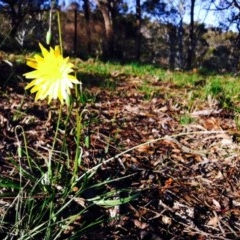 Microseris walteri (Murnong, Yam Daisy) at Mount Painter - 21 Sep 2014 by JasonC