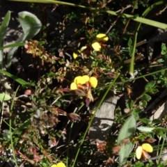 Bossiaea buxifolia (Bush Pea) at Farrer Ridge - 23 Sep 2014 by galah681
