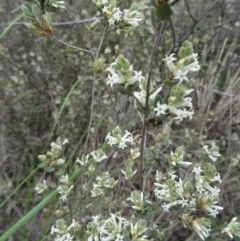 Brachyloma daphnoides (Daphne Heath) at Black Mountain - 24 Sep 2014 by galah681