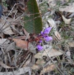 Hardenbergia violacea (False Sarsaparilla) at Black Mountain - 24 Sep 2014 by galah681