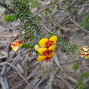 Dillwynia phylicoides at Black Mountain - 24 Sep 2014
