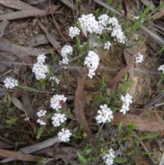 Leucopogon virgatus (Common Beard-heath) at Black Mountain - 24 Sep 2014 by galah681