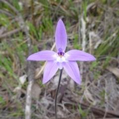 Glossodia major (Wax lip orchid) at Majura, ACT - 24 Sep 2014 by EmmaCook