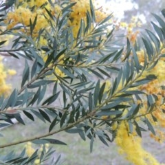 Acacia buxifolia subsp. buxifolia (Box-leaf Wattle) at Conder, ACT - 23 Sep 2014 by michaelb