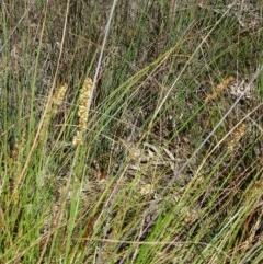 Carex appressa (Tall Sedge) at Black Mountain - 27 Sep 2014 by galah681