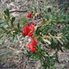 Grevillea alpina (Mountain Grevillea / Cat's Claws Grevillea) at Black Mountain - 27 Sep 2014 by galah681