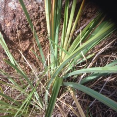 Dianella longifolia var. longifolia (Pale Flax Lily, Blue Flax Lily) at Molonglo River Park - 19 Jan 2016 by RichardMilner