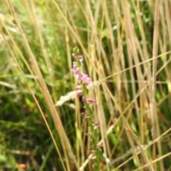 Spiranthes australis (Pink spiral orchid) at Fadden, ACT - 18 Jan 2016 by RyuCallaway