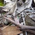 Cyanicula caerulea at Aranda Bushland - 22 Apr 2015