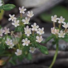 Poranthera microphylla (Poranthera) at Namadgi National Park - 18 Jan 2016 by KenT