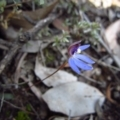 Cyanicula caerulea at Aranda Bushland - 5 Sep 2015